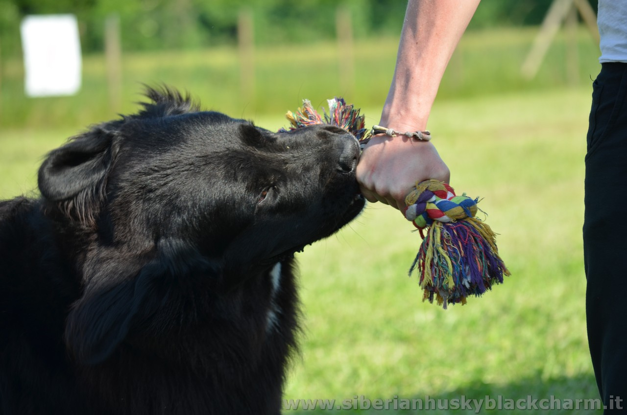 siberian_husky_black_charm_alexa_capra_dogs_inc_03