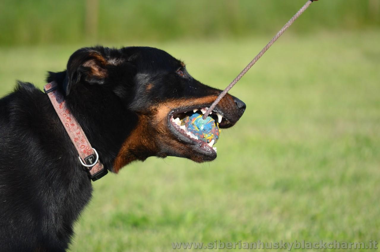 siberian_husky_black_charm_alexa_capra_dogs_inc_04